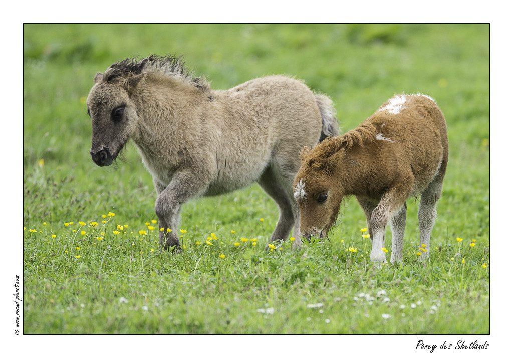 Poney des Shetlands